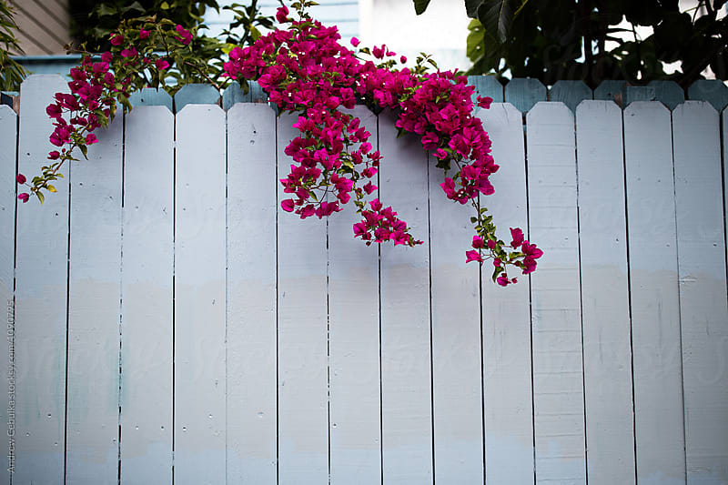 Pink flowers on vines coming over white fence