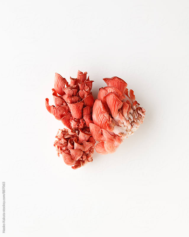 pink oyster mushroom on white background by Naoko Kakuta for Stocksy United