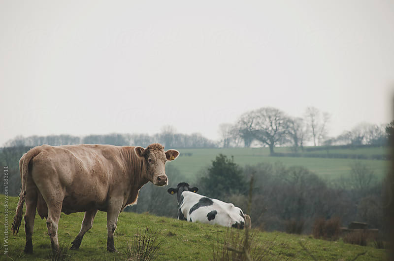 Cow looking at the Camera by Neil Warburton for Stocksy United