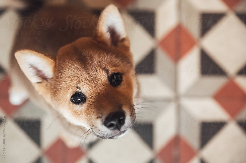 Portrait of a 3 month shiba ini puppy by Vera Lair for Stocksy United