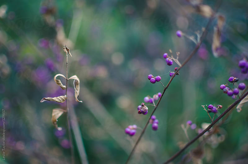 A Japanese Beautyberry Bush by Leslie Taylor for Stocksy United
