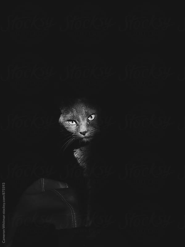 Cat Portraits in a sliver or hard light by Cameron Whitman for Stocksy United