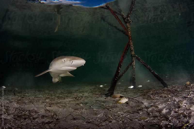 Baby Lemon Shark by Shane Gross for Stocksy United
