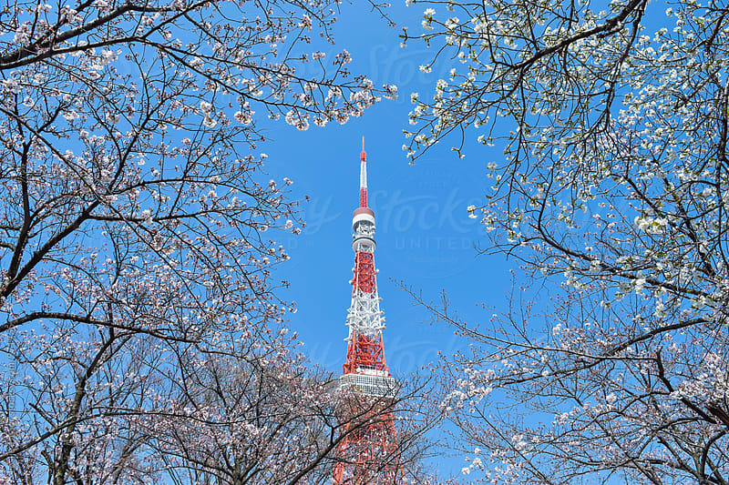 Tokyo Tower Surrounded By Cherry Blossoms by Leslie Taylor for Stocksy United