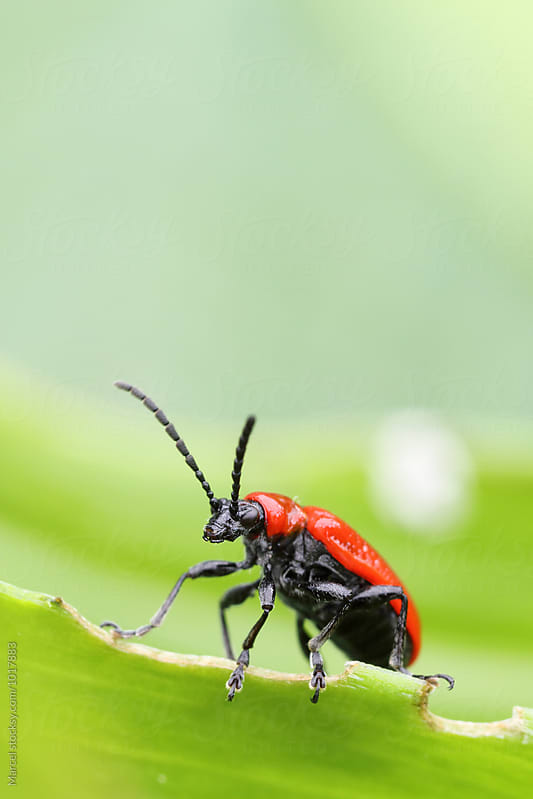 Scarlet lily beetle by Marcel for Stocksy United