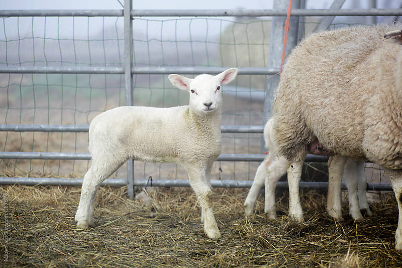 Newborn lamb in early spring by Marcel for Stocksy United