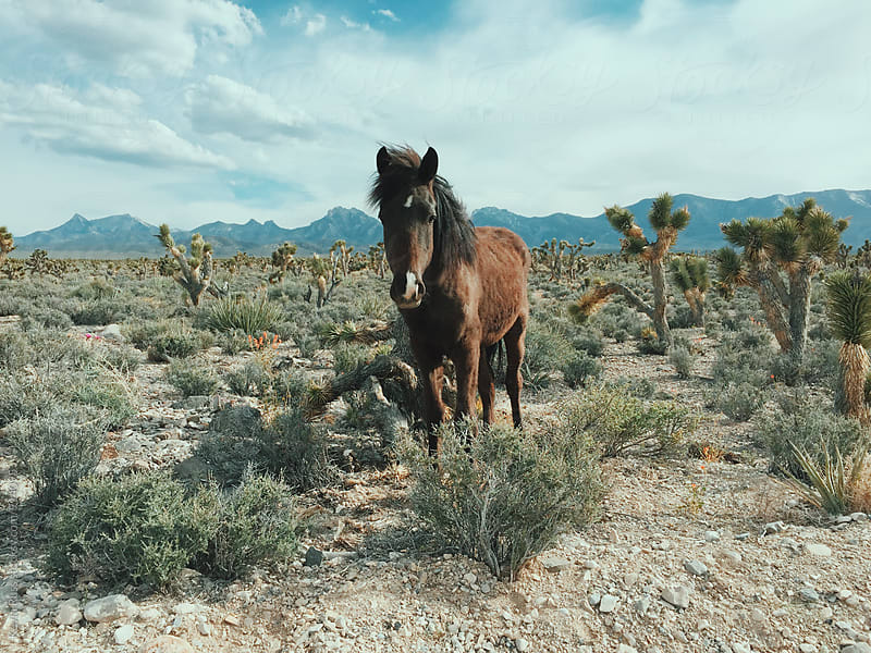 Wild Horse in Desert by Kevin Russ for Stocksy United