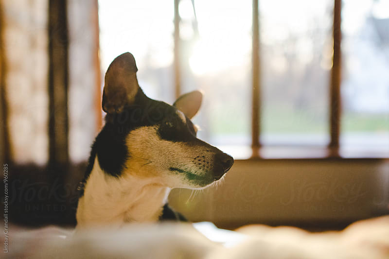 Dog sitting indoors in the sunlight by Lindsay Crandall for Stocksy United