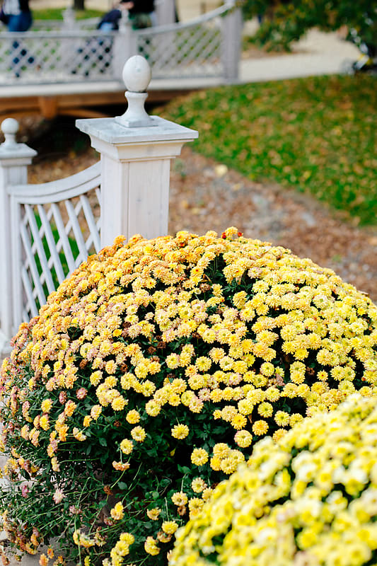 Bush of yellow chrysanthemums by Andrey Pavlov for Stocksy United