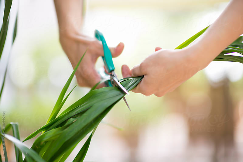 Woman cutting and holding green leaves in garden by Lawren Lu for Stocksy United