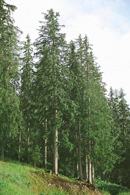 Fir trees on green plain. Les Alps, France. by BONNINSTUDIO for Stocksy United