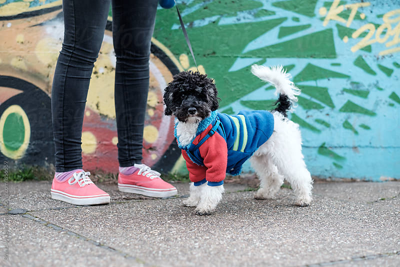 Cute Harlequin Poodle on the Street by Branislav Jovanović for Stocksy United