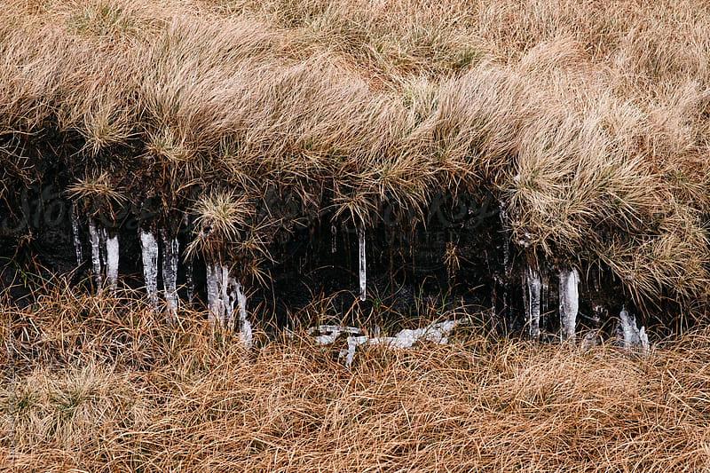 Frozen icicles among the peat and moorland grass. Bleaklow, Derbyshire, UK. by Liam Grant for Stocksy United