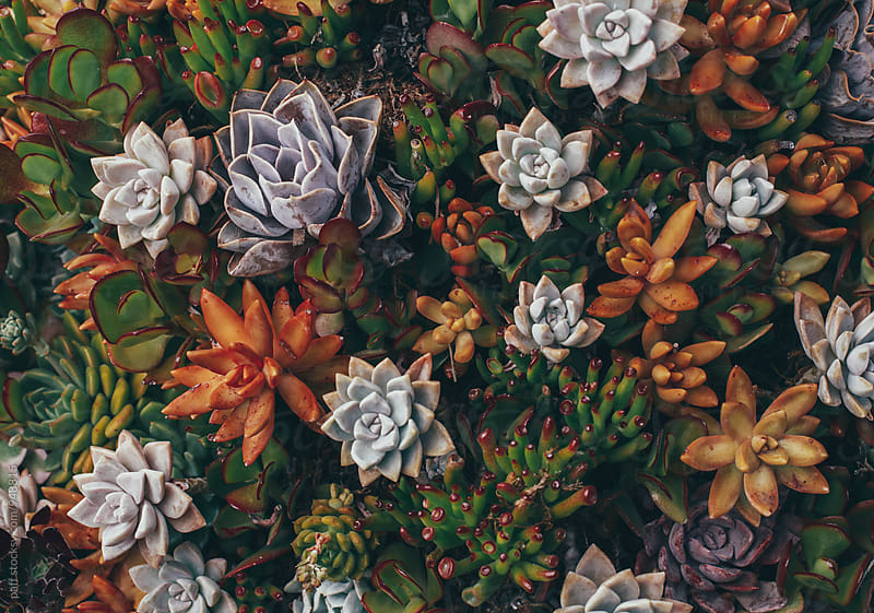 Colorful succulents in California by paff for Stocksy United