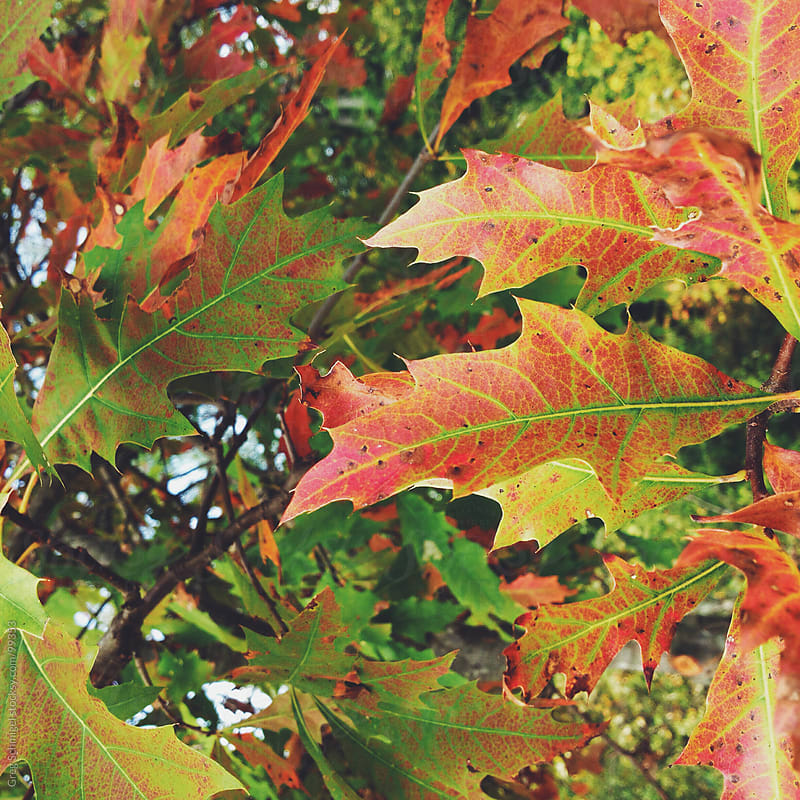 Leaves changing to fall, autumn colors on a tree by Greg Schmigel for Stocksy United
