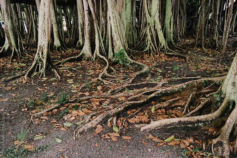 Banyon Trees by Dylan M Howell Photography for Stocksy United