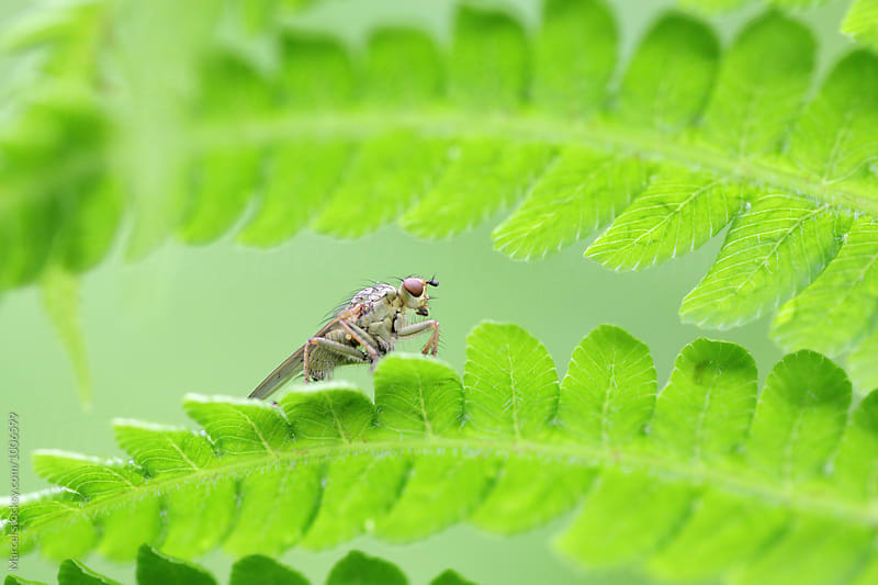 Dung fly on fern by Marcel for Stocksy United