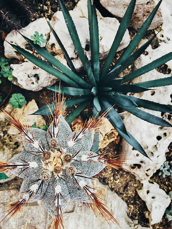 Cacti Overhead by Julien L. Balmer for Stocksy United