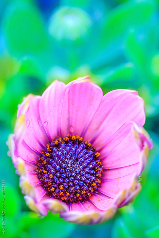 Osteospermum in bloom by ALAN SHAPIRO for Stocksy United