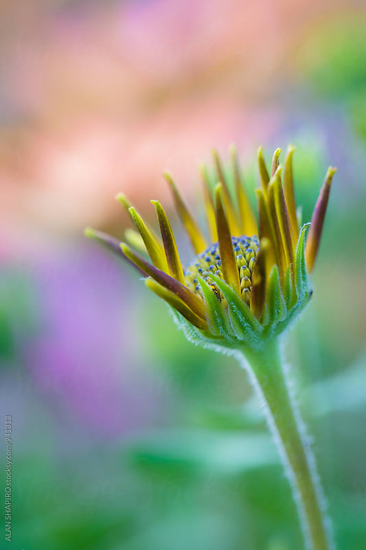 Osteospermum bud by alan shapiro for Stocksy United