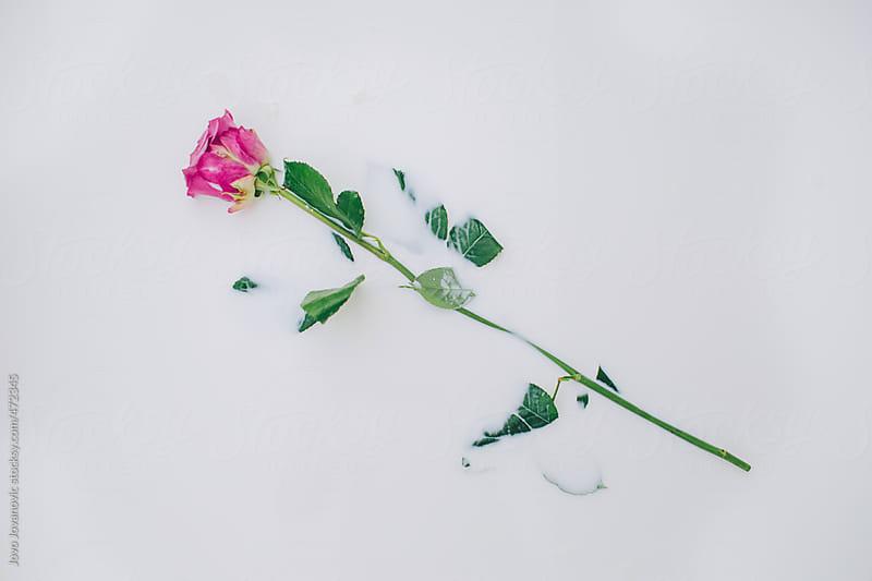 One pink rose in milk by Jovo Jovanovic for Stocksy United