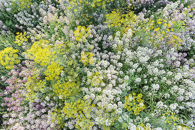 Alyssum and flowering dill plant by Preappy for Stocksy United