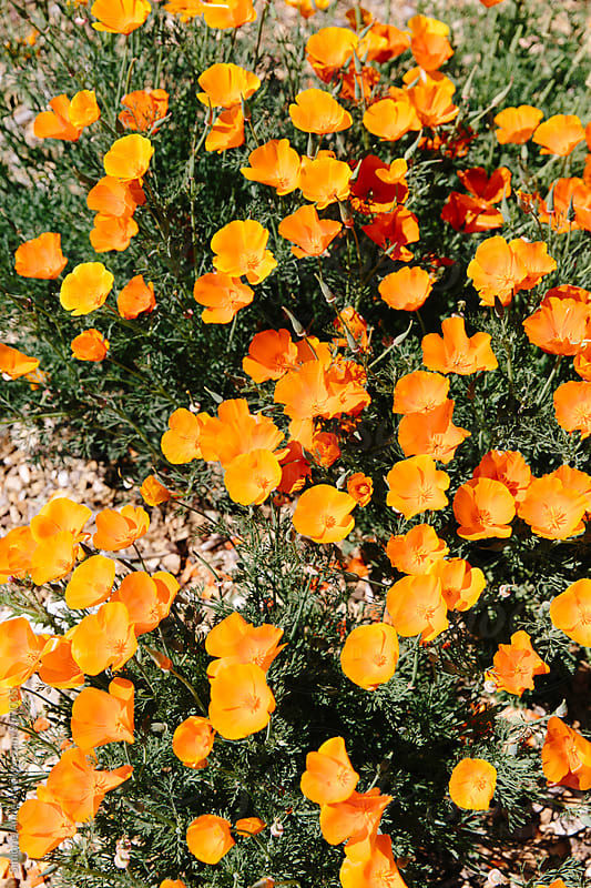 California poppies by Simone Anne for Stocksy United