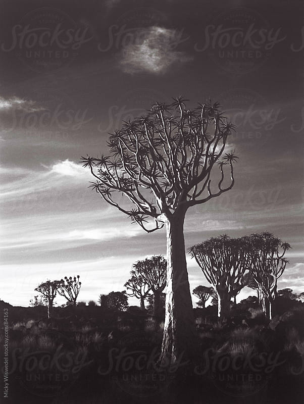African Quiver Tree Forest by Micky Wiswedel for Stocksy United