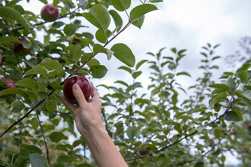 Hand reaches up to grab a fresh apple from a tree in an orchard by Cara Dolan for Stocksy United