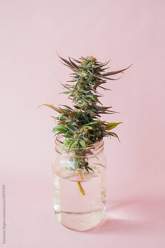 marijuana plant cutting in mason jar on pastel pink background by Cameron Zegers for Stocksy United