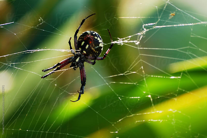 Spider In Web by Tamara Pruessner for Stocksy United