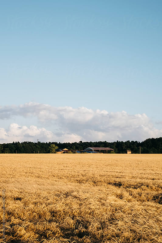 Barn beside a field of barley. Norfolk, UK. by Liam Grant for Stocksy United