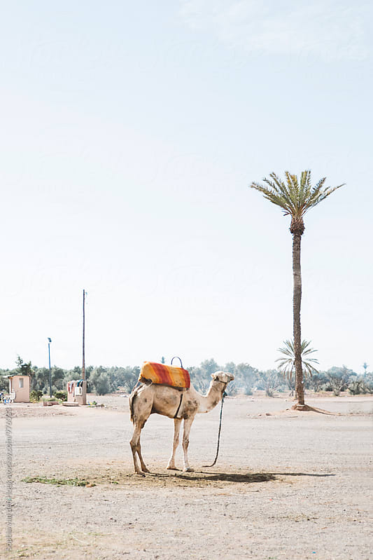 Camel in Marrakech by Sophia van den Hoek for Stocksy United