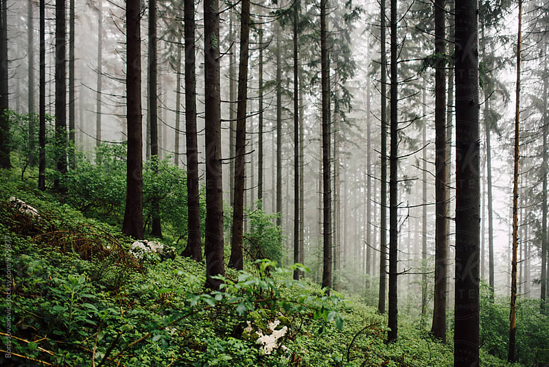 Deep misty forest by Boris Jovanovic for Stocksy United