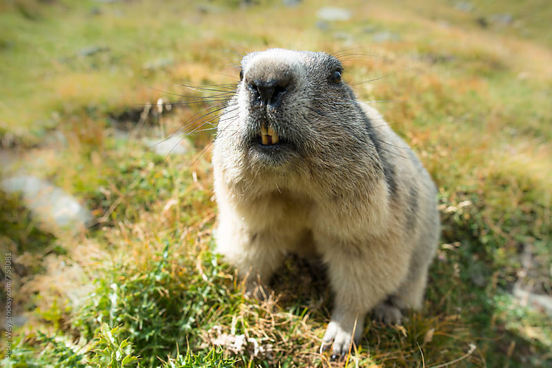 Cheeky marmot by Peter Wey for Stocksy United