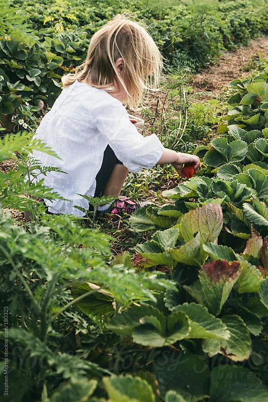 Little girl picking strawberries by Stephen Morris for Stocksy United