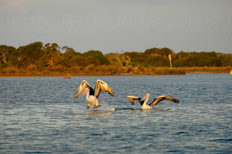 Pelican Taking Off from Mallacoota Inlet by Gary Radler Photography for Stocksy United
