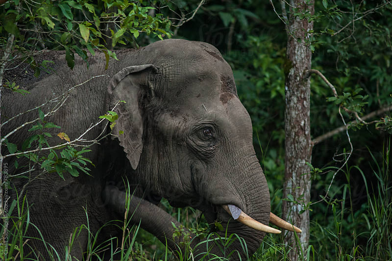 Thai Elephant by Chalit Saphaphak for Stocksy United