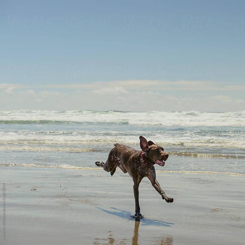 German Shorthair Dog Running On The Beach by Cameron Whitman for Stocksy United