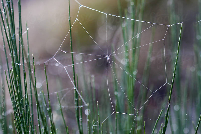 Minimalistic spider web with dew on it by Carolyn Lagattuta for Stocksy United
