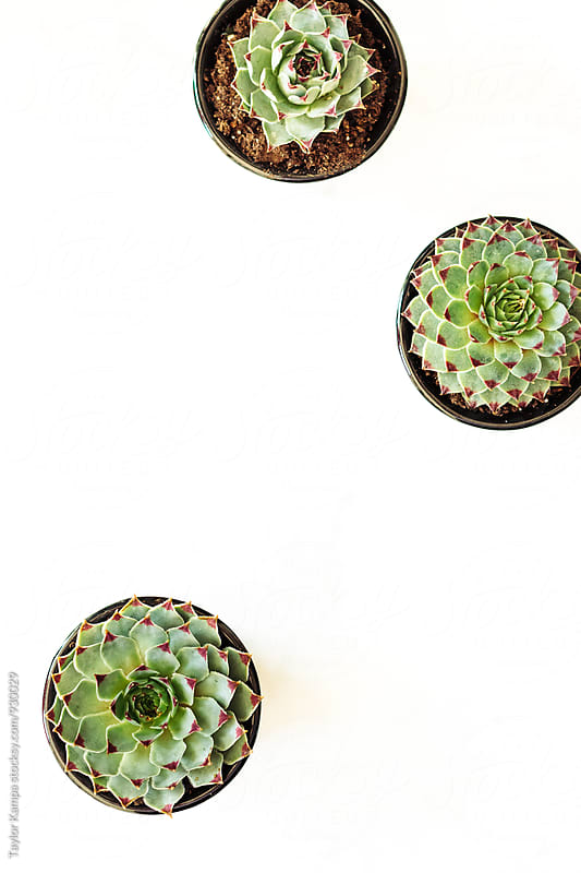 Small Succulents by Taylor Kampa for Stocksy United