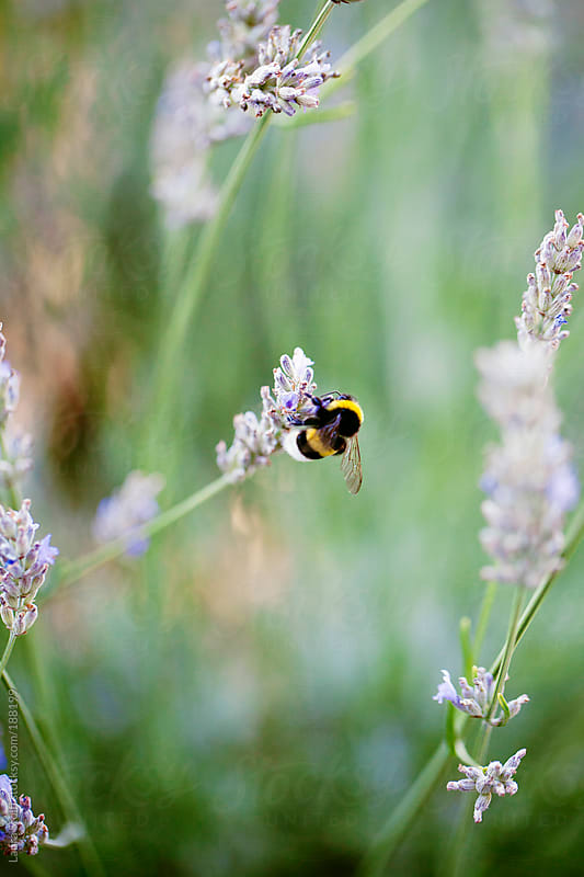 Bumblebee on lavender flower by Laura Stolfi for Stocksy United