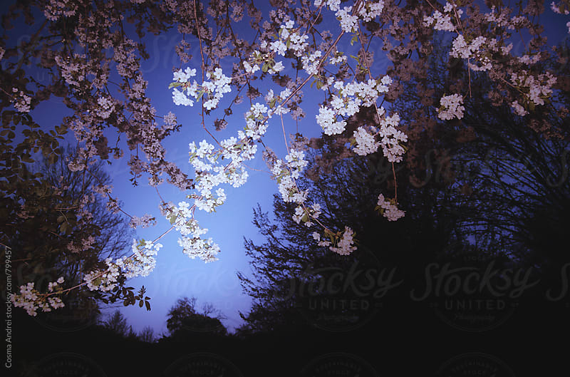 Spring flowers on tree at night by Cosma Andrei for Stocksy United