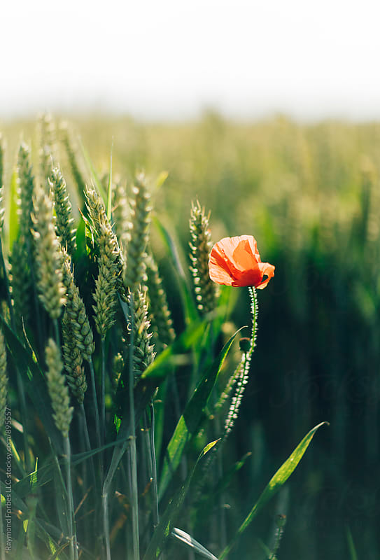 Poppy in Wheat Field  Normandy, France by Raymond Forbes LLC for Stocksy United