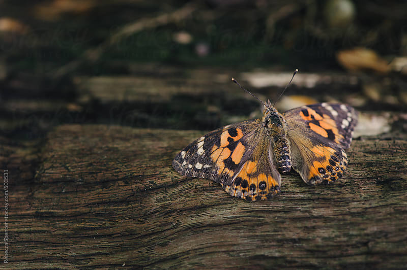 Painted lady butterfly by Rebecca Spencer for Stocksy United