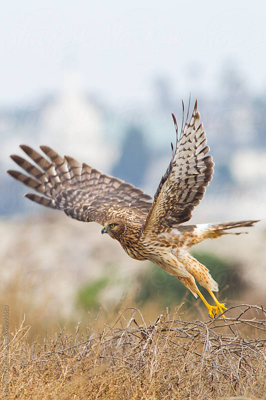 Northern Harrier Lift Off by Nathan French for Stocksy United