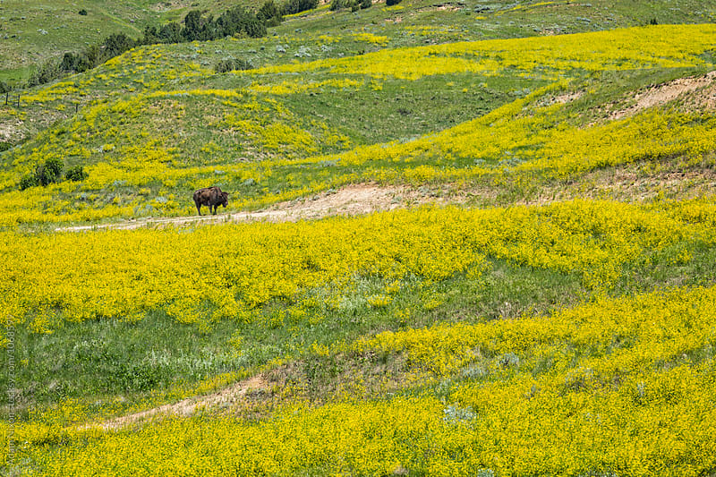American Bison grazing in the green grasslands and yellow wild flowers of South Dakota