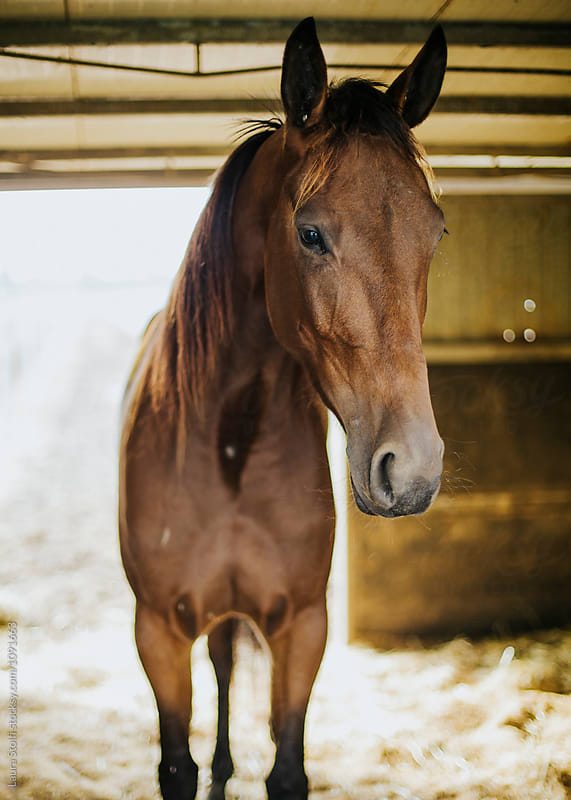 Brown adult horse in the stable by Laura Stolfi for Stocksy United