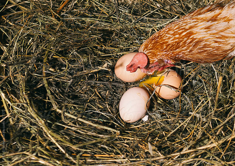 Red chicken under nest with three eggs by T-REX & Flower for Stocksy United