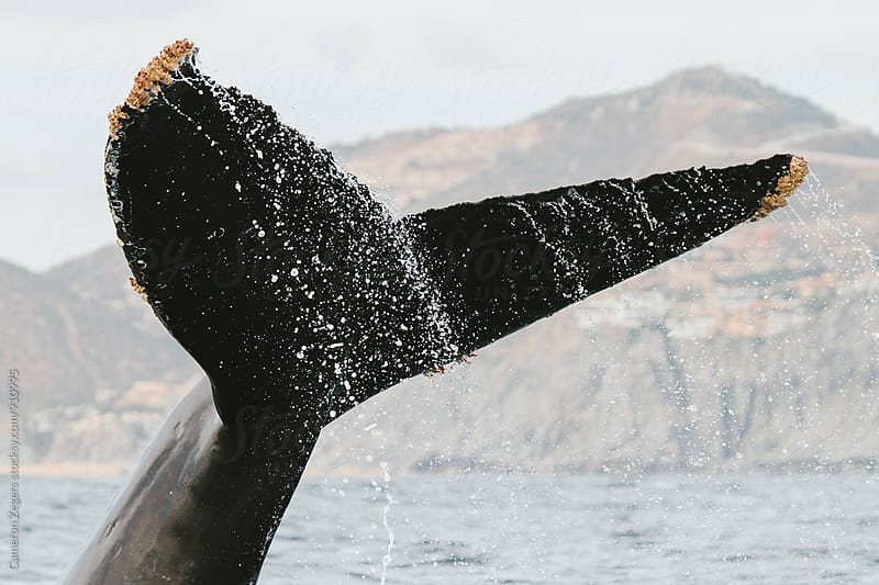 Humpback Whale by Cameron Zegers for Stocksy United
